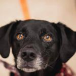 Cody, 5-year-old, Lab Mix