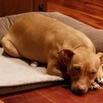 Jazzy is a sweet girl who is resting up and waiting to be adopted. Tmhpetrescue.com for applications Likes: Her people and doggy naps Dislikes: Not having a home of her own!