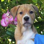 Shannon, 11-week-old, Boxer mix